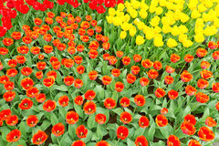 Tulip flowerbed blooming in orange, red and yellow Royalty Free Stock Images