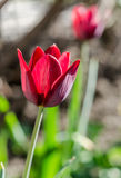 Tulip on the flowerbed Royalty Free Stock Photos