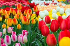 Tulip flowerbed, red, yellow, white panorama Royalty Free Stock Images