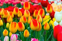 Tulip flowerbed, red, yellow, white panorama Royalty Free Stock Image