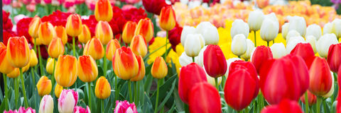 Tulip flowerbed, red, yellow, white panorama Stock Photography