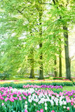 Tulip flowerbeds in a spring garden. A nicely arranged Dutch outdoor park or a garden with blooming tulip flowerbeds and trees royalty free stock photos