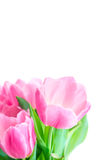 Tulip flowers Stock Photography