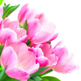 Tulip flowers. Isolated over white background royalty free stock image