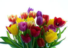 Tulip flowers Royalty Free Stock Photos