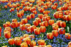 Tulip Flowers. Red Tulip Blossoming in spring seasons, Purple lavender embellish royalty free stock images