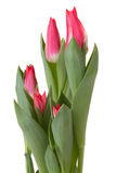 Tulip flowers stock image