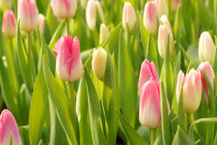 Tulip flowers. The pink-white tulip flowers are budding Royalty Free Stock Photos