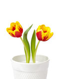 Tulip flowers. Spring tulip flowers in a white pot isolated on white stock images