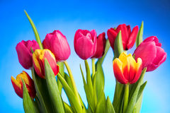 Tulip flowers Stock Images