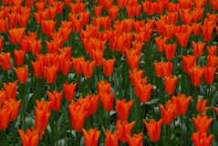 Tulip Flowers Stock Photo
