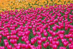 Tulip Flowers Stockfoto