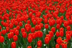 Tulip Flowers Fotografia de Stock