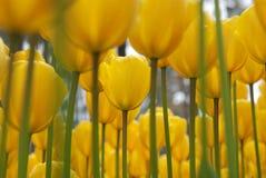 Tulip Flowers Photographie stock libre de droits