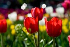 Tulip Flowers Imagen de archivo
