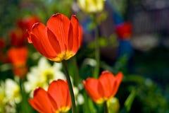 Tulip Flowers Imágenes de archivo libres de regalías
