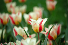 Tulip flowers. Blooming in spring Royalty Free Stock Images