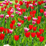 Tulip flowers background Stock Image