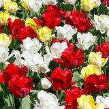 Tulip flowers background Royalty Free Stock Photo