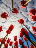 Tulips against blue sky and clouds. Tulip flowers in the background of clouds stock photo