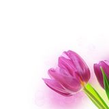 Tulip flowers background Royalty Free Stock Image