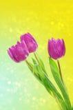 Tulip flowers background Stock Photos