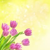 Tulip flowers background Stock Photography