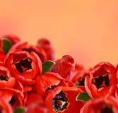 Tulip flowers background Royalty Free Stock Photos