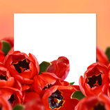 Tulip flowers background Royalty Free Stock Images