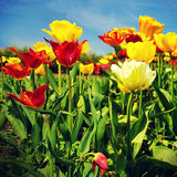 Tulip flowers in a beautiful day of spring Royalty Free Stock Photo