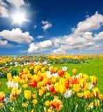 Tulip flowers bed on blue sky Stock Photos
