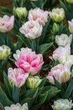Tulip Flowers bianca e crema di Rich Pink, Victoria, Australia, settembre 2016 fotografia stock