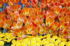 Tulip Flowers in Bloom stock photography