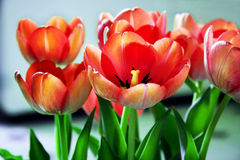 Tulip flowers in bloom. Closeup of a bunch of red tulip flowers in bloom Stock Photo