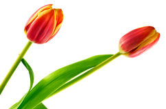 Tulip flowers in bloom Stock Image