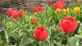 Tulip flowers blooming in Spring. Colorful tulips blooms swaying in the wind. slow horizontal motion. Tulip flowers blooming in Spring. Colorful tulips blooms stock video