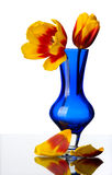 Tulip flowers in a blue glass vase, isolated. Royalty Free Stock Photography