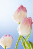 Tulip Flowers on Blue Textured Background with Copy Space Royalty Free Stock Photography