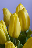 Tulip flowers Royalty Free Stock Photo