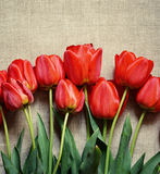 Tulip flowers on canvas Royalty Free Stock Photography