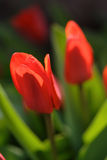 Tulip flowers - close-up Stock Photography