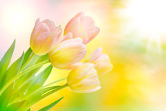 Tulip flowers Royalty Free Stock Images