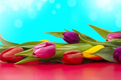 Tulip flowers close up Stock Photography
