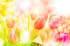 Tulip flowers close up Royalty Free Stock Images