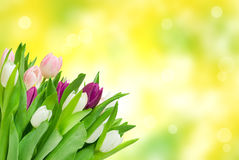 Tulip flowers close up Royalty Free Stock Photography