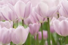Tulip flowers close-up. Light lilac tulip flowers close-up using shallow focus in soft lighting. Soft and gentle spring flower natural background. Tulips stock image