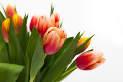 Tulip flowers close-up royalty free stock images