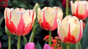 Tulip flowers. Closeup in the field stock video footage