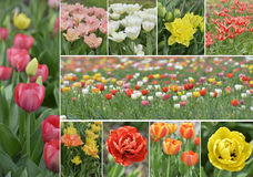Tulip Flowers Collection Fotografering för Bildbyråer