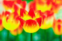 Tulip flowers color abstract. Group of sunlit red and yellow tulip flowers on a flowerbed against green background. One tulip stands out to the front. Abstract Royalty Free Stock Photo